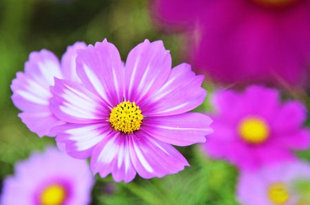 autumn colouring: Cosmos flowers