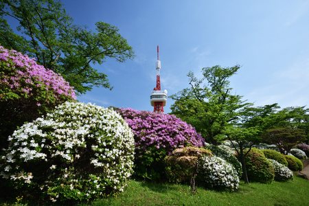 Azaleas and Utsunomiya Tower