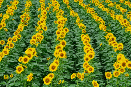 Bright yellow sunflowers blooming in the farm