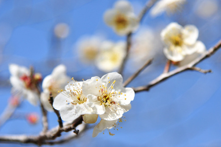 White plum flowers blossoming over a blue sky background
