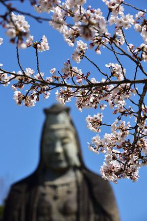 Cherry blossoms and Otani statue