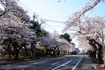 Utsunomiya University Engineering Department before the cherry blossoms roadside trees 版權商用圖片 - 101774378