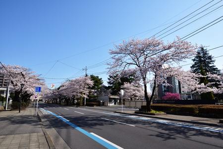 Utsunomiya University Engineering Department before the cherry blossoms roadside trees