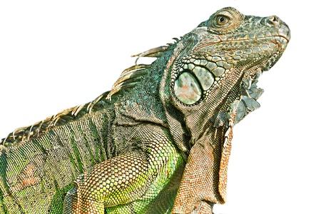 echse: Leguan freigestellt