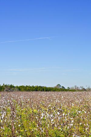 Southern Cotton Field Stock fotó