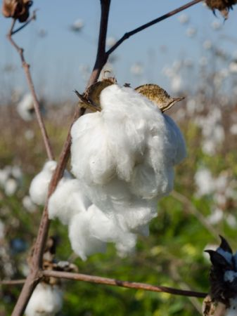 A closup of a ripe cotton boll in a cotton field  Stock fotó