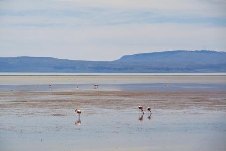el calafate: Flamingos in the water in El Calafate, Argentina