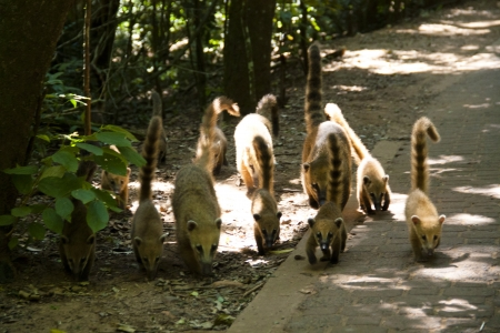 Group of coatis in Iguazu national park in Argentina