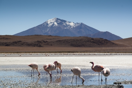 andean: Flamingos in the Andean highlands in Bolivia