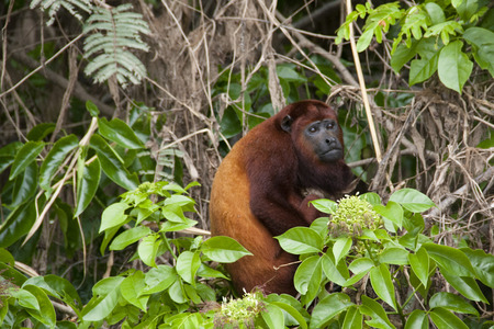 howler: Howler monkey in the Amazon rain forest Stock Photo