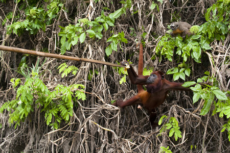 howler: Owl monkey and howler monkey in the Amazon rain forest Stock Photo