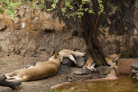 Lions sleeping in the zoo of Cali