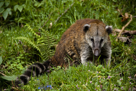 Coati at the Cocora valley, Colombia