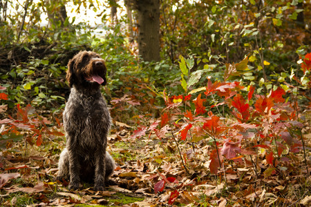 wirehaired: Korthals Griffon or Wirehaired Pointing Griffon sitting in an autumn landscape Stock Photo