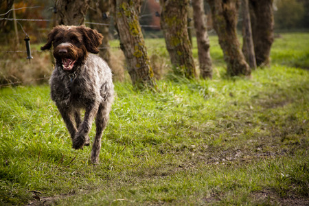 Korthals Griffon or Wirehaired Pointing Griffon running through the fields Фото со стока