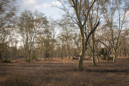 forest park: A forest of fever trees in the National Park Gorongosa in the center of Mozambique Stock Photo