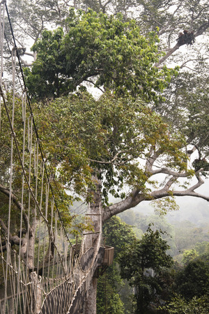 tropical tree: The hanging bridges for the canopy walk in Kakum national park, near Cape Coast in Ghana