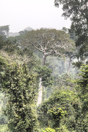 tropical tree: View over the rain forest in Kakum national park, near Cape Coast in Ghana Editorial