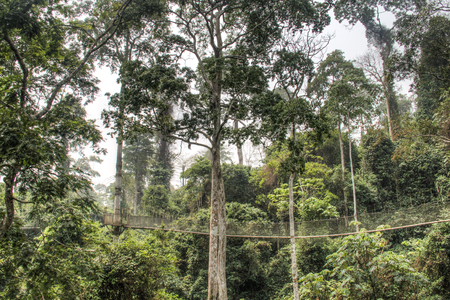 tropical tree: The hanging bridges for the canopy walk in Kakum national park, near Cape Coast in Ghana