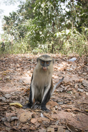 worshipped: Mona monkey in the town of Tafi Atome where they are worshipped by the villagers in the Volta Region in Ghana Stock Photo