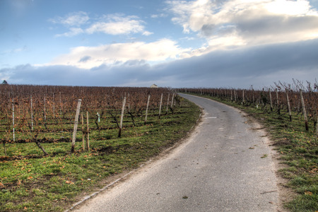 Autumn landscape with the vineyards of Hochheim in Germany