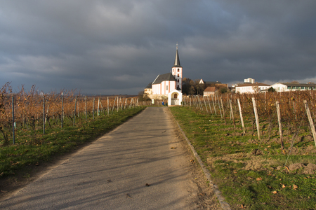 Autumn landscape with the vineyards of Hochheim in Germany with the church in the background