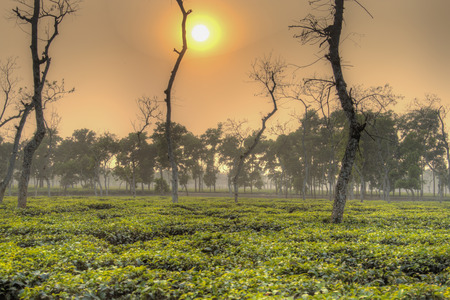 Tea fields in Srimangal in the Sylhet division of Bangladesh