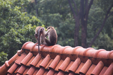 Macaques are the most common type of monkeys that can be found around the temples in Dambulla in Sri Lanka