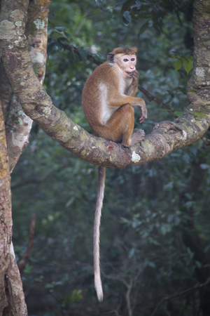 Macaques are the most common type of monkeys that can be found in the area of Lion's rock in Sigiriya in Sri Lanka