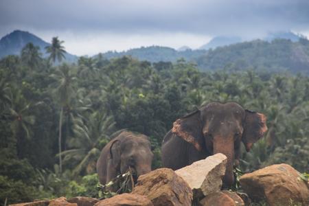 Elephants at the Pinnawala Elephant orphenage near Kandy in Sri Lanka