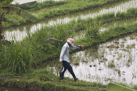 SIDEMEN, BALI - JANUARY 2018: Farmer working on the rice fields near Sidemen in Bali, the most touristic island of Indonesia