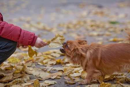 Boy plays with pekingese. Teasing  by leaf. photo
