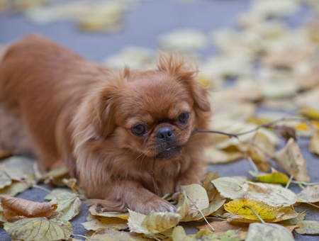Pekingese plays with a tree branch among fallen yellow leaves photo