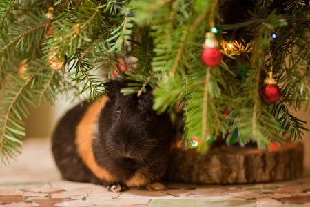 christmas guinea pig: Guinea-pig sitting at  Christmas tree decorated with colorful baubles