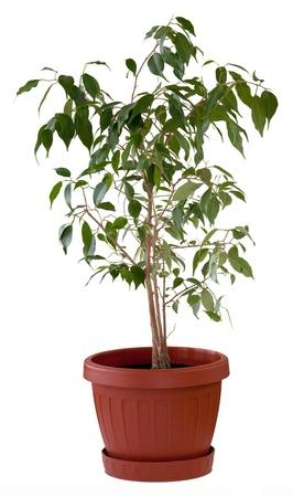 Ficus benjamina dans un pot de fleurs brun. Isolé.