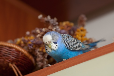 Blue parrot sitting and looking at camera on posy background photo