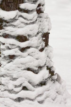 Close up shot of snow on the trunk of Oak tree. photo