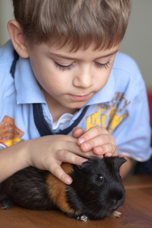 only boys: Boy touching guinea pig on table at home Stock Photo