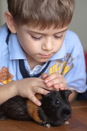 świnka morska: Chłopak dotykając świnka morska na stole w domu Zdjęcie Seryjne