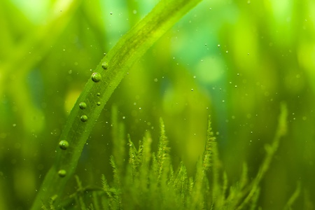 Macro d'algues avec de nombreuses petites bulles dans l'aquarium Banque d'images