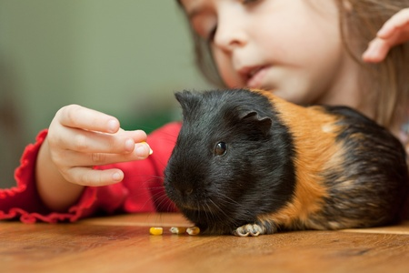 Little girl feeding guinea pig on table at home
