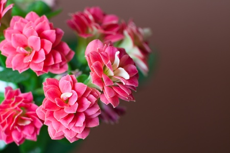 Pink flowers of kalanchoe macro with soft focus Stock Photo - 13040908