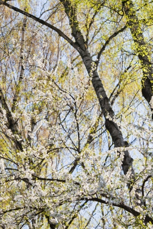 Branches blooming in the spring Stock Photo - 13714364