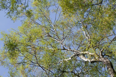 Birch tree with fresh leaves from below in spring Stock Photo - 13715683