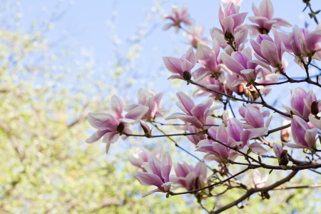 Blossoming of magnolia flowers in spring time Stock Photo - 13796633