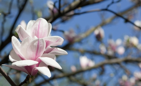 Opening pink magnolia flower  Natural outdoor setting Stock Photo - 13796632