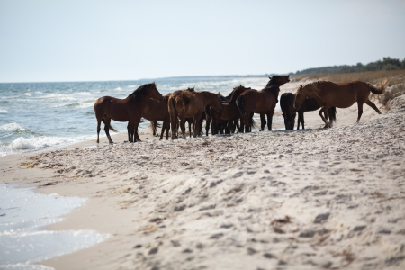 Group of wild horses at sea line  Kinburn Spit, Black Sea, Ukraine Stock Photo - 14690592