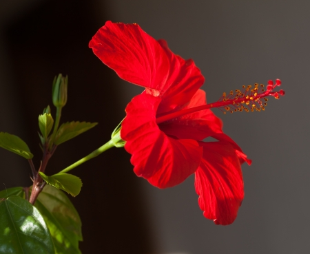 Closeup of a beautiful red hibiscus flower with five stamens Фото со стока