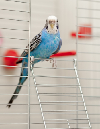 playful behaviour: Blue budgerigar sitting on the door of cage Stock Photo