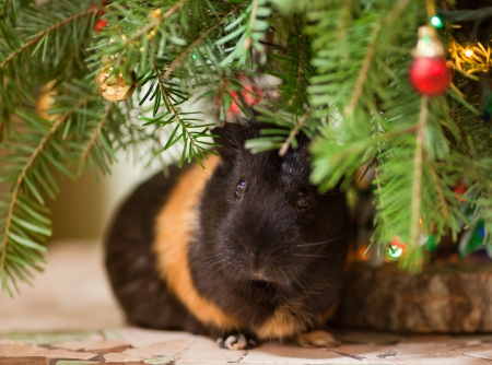Guinea-pig sitting at  Christmas tree decorated with colorful baubles
